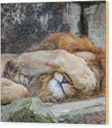 Fort Worth Zoo Sleepy Lion Wood Print