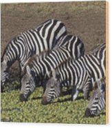 Four For Lunch - Zebras Wood Print