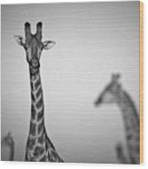 Four Giraffes Wood Print