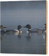 Four Loons Circling On Water Wood Print