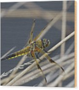 Four Spotted Chaser Wood Print