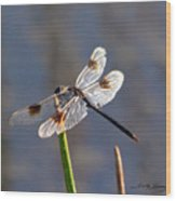 Four Spotted Pennant On A Reed Wood Print