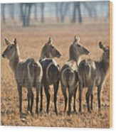 Four Waterbucks Wood Print