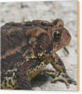 Fowler's Toad #2 Wood Print