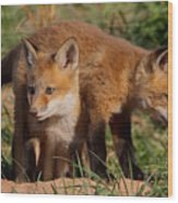 Fox Cubs Playing Wood Print by William Jobes