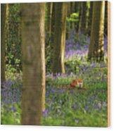 Fox In Bluebells Wood Print