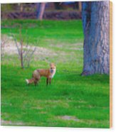 Fox Of Boulder County Wood Print