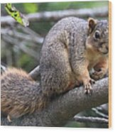 Fox Squirrel On A Branch - Southern Indiana Wood Print