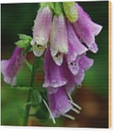 Foxgloves In The Rain Wood Print