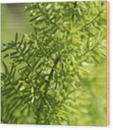 Foxtail Fern In Spring Wood Print