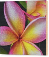Frangipani After The Rain Wood Print
