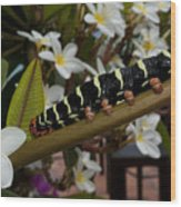 Frangipani Tree And Caterpillar Wood Print