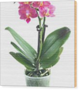 Fresh Pink Orchid In Pot Wood Print