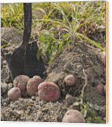 Fresh Red Potatoes On Ground Wood Print