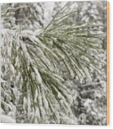 Fresh Snow Covers Needles On A Pine Wood Print