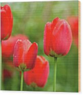 Fresh Spring Tulips Flowers With Water Drops In The Garden  Wood Print