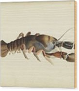 Fresh Water Crayfish Unsigned Sketches Attributed To William Buelow Gould Wood Print