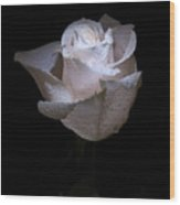 Fresh White Rose Wood Print