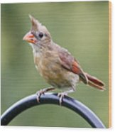 Friendly Female Cardinal  Wood Print