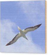 Frigatebird Wood Print