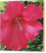 Frilly Red Hibiscus Wood Print
