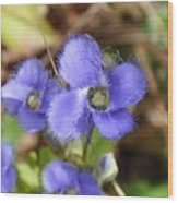 Fringed Gentian 1 Wood Print