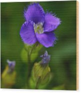 Fringed Gentian Wood Print