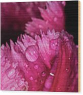Fringed Tulip Wood Print