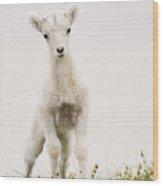 Frisky Lamb Wood Print