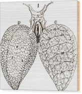 Frog Lungs, Malpighi, 1661 Wood Print