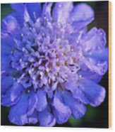 Frosted Blue Pincushion Flower Wood Print