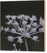 Frosted Hogweed Wood Print