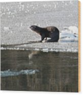 Frosty River Otter  Wood Print