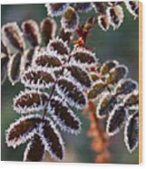 Frosty Rose Leaves Wood Print