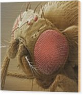 Fruit Fly Head, Sem Wood Print by Power And Syred