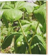 Fruit Of The Mayapple Wood Print