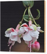 Fuchsia 2 Wood Print