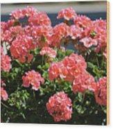 Full Bloom Geraniums  Wood Print