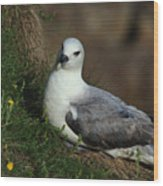 Fulmar Nesting On Cliff Wood Print