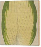 Funkia Sieboldiana Variegata Wood Print