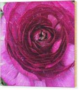 Fuschia Ranunculus Wood Print