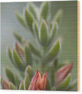 Fuzzy Orange Succulent Blossom Wood Print