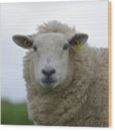 Fuzzy White Sheep In A Remote Location Wood Print