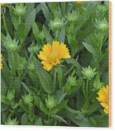 Gaillardia Arizona Apricot Wood Print