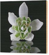 Galanthus Nivalis Flore Pleno Wood Print