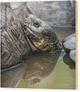 Galapagos Giant Tortoise In Pond Amongst Others Wood Print