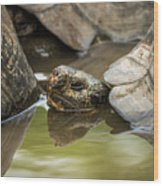 Galapagos Giant Tortoise In Pond Behind Another Wood Print