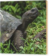 Galapagos Giant Tortoise In Profile In Woods Wood Print