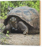 Galapagos Giant Tortoise Walking Down Gravel Path Wood Print