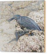 Galapagos Heron In Santa Cruz Island, Galapagos. Wood Print